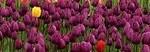 tulips-175605__180